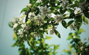 cvety, leto, derevo, vetki, listya, priroda, zh, леспестки