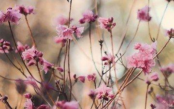 cvety, rozovyj, vetki, makro, listya, priroda, rastenie