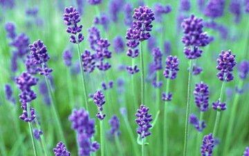 cvety, fioletovyj, rasteniya, sirenevyj, zelenyj