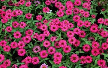 цветы, зелень, листья, розовые, пыльца, маленькие, cvety, makro, rozovye