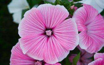 cvety, rozovyj, nezhnost