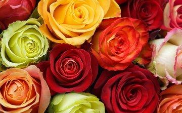 цветы, бутоны, розы, разноцветные, зи, cvety, butony, oranzhevyj, rozy, krasnyj, raznocvetie