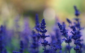 fon, cvety, polyana, leto, rasteniya, sinie, lavanda, raz