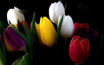 cvety, tyulpany, buket