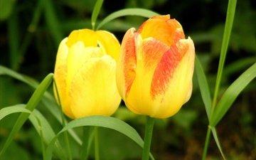 цветы, трава, весна, тюльпаны, два, желтые, cvety, vesna, tyulpany, butony