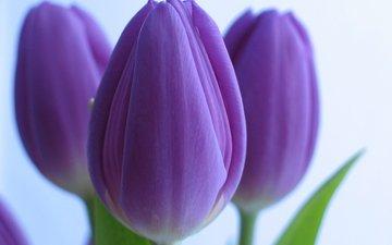 цветы, тюльпаны, крупный план, cvety, tyulpany, fioletovye