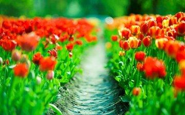 cvety, tyulpany, priroda, dorozhka