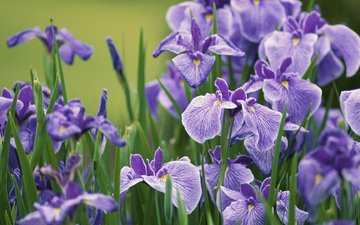 цветы, бутоны, лепестки, стебли, ирисы, butony, sirenevye, irisy, леспестки