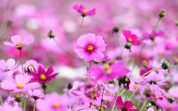 космея, cvety, trava, rozovye, yarkie, rasten, леспестки