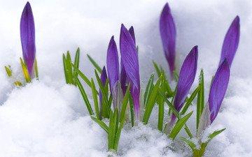 vesna, fioletovyj, butony, pervocvet, krokusy, sneg, cve