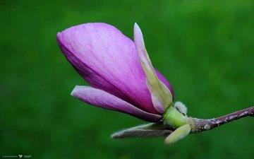 cvety, priroda, magnoliya