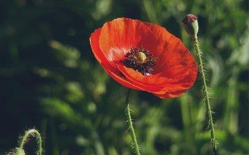 мак, trava, mak, cvetok, makro, butony, krasnyj, cvetki, razmy