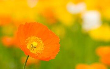 цветы, маки, mak, cvetok, oranzhevyj, buton, zheltyj, yarki, леспестки