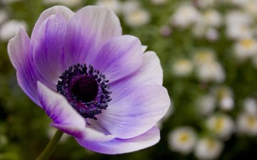 mak, fioletovyj, cvetok, sirenevyj, леспестки