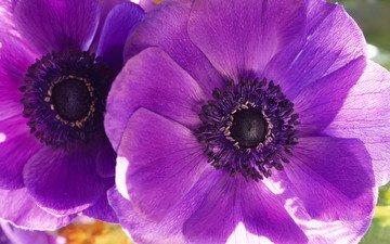 маки, большие, cvety, fioletovyj, cvetok, makro, dva, фиалки, леспестки