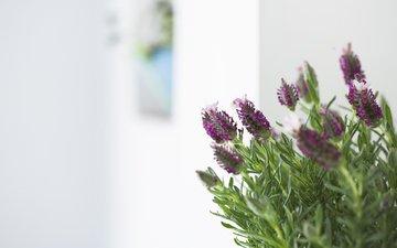 cvety, makro, listya, fioletovye, rozmarin, vetochki