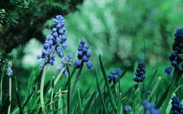 cvety, trava, makro, rasteniya, sinie, muskari, zele, грустит