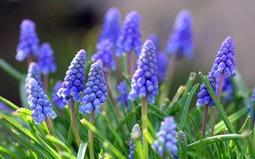 цветы, природа, листья, весна, cvety, vesna, listya, priroda, muskari, мускари
