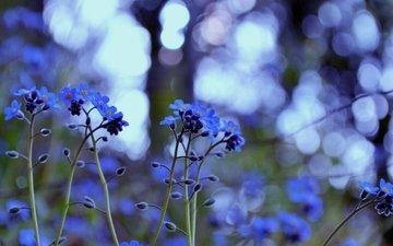 cvety, trava, rasteniya, cvet, bliki, svet, nezabudki, ra