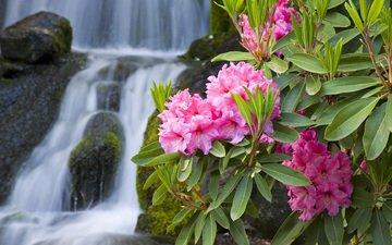 cvety, makro, rozovye, priroda, vetka, oleandr, vodopad