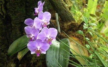 роса, cvety, listya, k, orxideya, falenopsis, сиреневогрудая