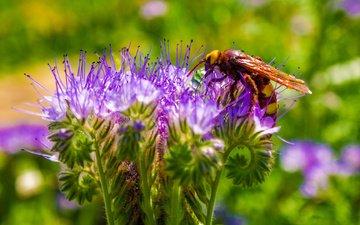 макро, цветок, пчела, оса