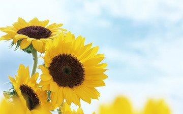 cvety, leto, podsolnuxi, zheltye, розмытость
