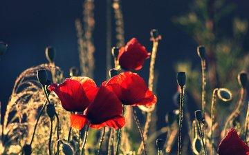 маки, cvety, polyana, cvetenie, rasteniya, vecher