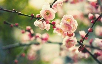 cvety, vesna, cvetenie, butony, priroda, vetvi, rastenie