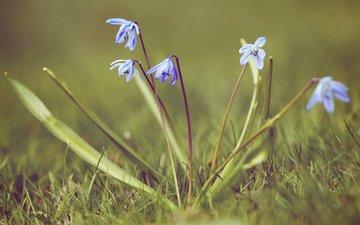 vesna, trava, pervocvet, priroda, podsnezhnik, proleski