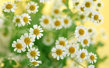 ромашка, ромашки, белая, cvety, romashki, belye, makro, rasteniya, zelen, buket
