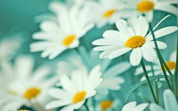 cvety, romashki, belye, mak, nezhnost, legkost, леспестки