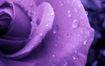 роса, cvetok, kapli, roza