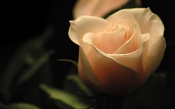 makro, roza