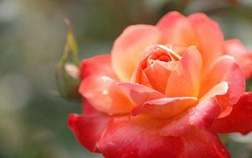 cvetok, buton, roza, krasnaya, oranzhevaya, lep, yarkaya