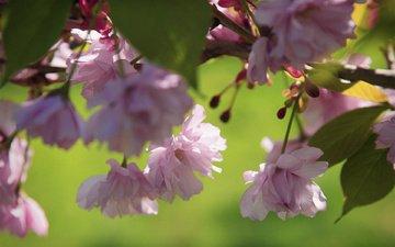 rozovye, vetka, vishni, cvetki