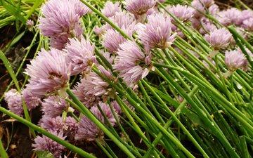 gazon, maj, rozovye cvety, posle dozhdya