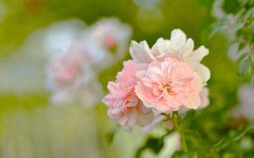 cvety, listya, butony, rozovye, rozy, kust, zel, леспестки