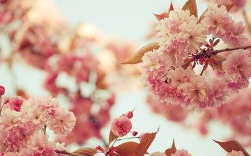 сакура, cvety, vetki, cvetenie, rozovye, vetvi, леспестки