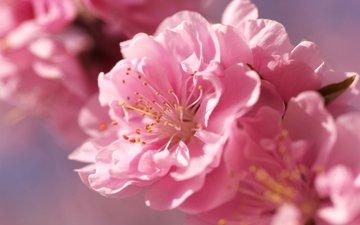 цветы, размытость, розовые, сакура, нежность, rozovyj, cvetok, nezhnost, yarko, ves, розмытость