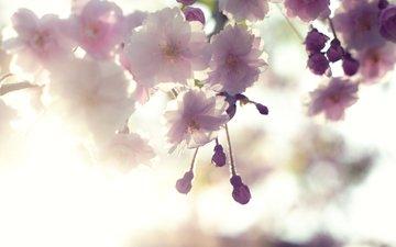 сакура, cvety, belye, vishnya, cvetenie, rozovye, vetka