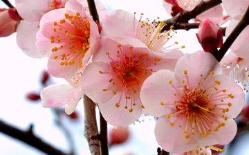 цветы, ветка, дерево, бутоны, лепестки, розовый, слива