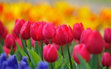 cvety, tyulpany, butony, rozovye, stebli, malinovye, zhe
