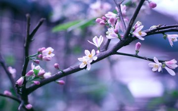 cvety, vesna, cvetenie, rozovye, vetka, vetochka, boke