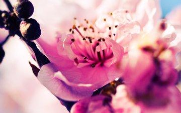 сакура, cvety, vishnya, cvetenie, butony, rozovye, vetka