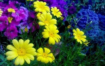 цветы, хризантемы, маргаритки, romashki, zheltye, klumba