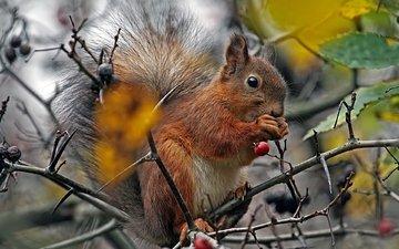 ветка, животные, ветки, осень, пушистый, шиповник, ягоды, белка, хвост