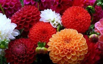 цветы, разноцветные, яркие, клумба, георгины