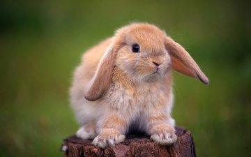 глаза, животные, лапы, кролик, уши, пень, пенек, кролик карликовый, декоративный