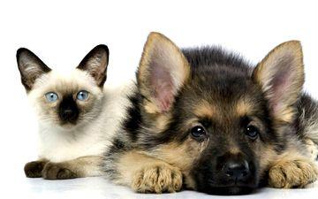 кошка, котенок, собака, щенок, дружба, овчарка, сиамский, пес и кот
